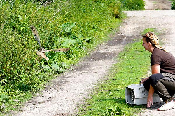 Auswilderung Waldohreule