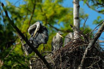 Graureiher brüten im Vogelpark