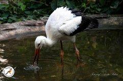 Der Vogelpark unterstützt das Wiederansiedlungsprogramm für Weiß-Störche in England