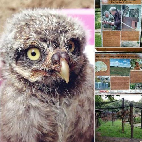 Junger Steinkauz aus dem Vogelpark kommt in die Auswilderungsstation von Zoo & Zoofalknerei Neunkirchen