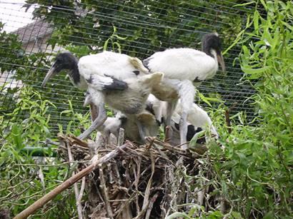Junge Heilige Ibise im Nest